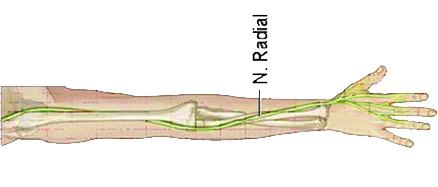 Nervio Radial que pasa por el codo